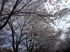 小瀬の桜 見事に満開
